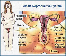 Parts of the female sex organ